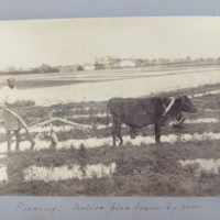 Plowing. Native plow drawn by cow